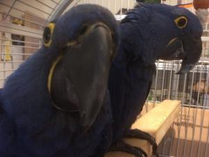Home trained Hyacinth Macaw Parrot Pair with Cage for sale